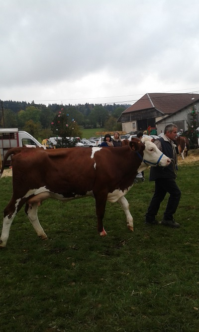 une vache en présentation au comice